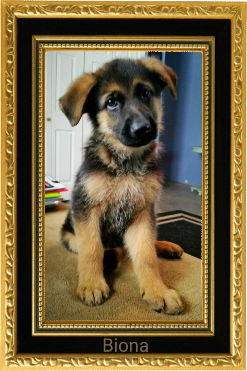 German Shepherd Breeders Kennels New York New Jersy Connecticut Georgia Texas