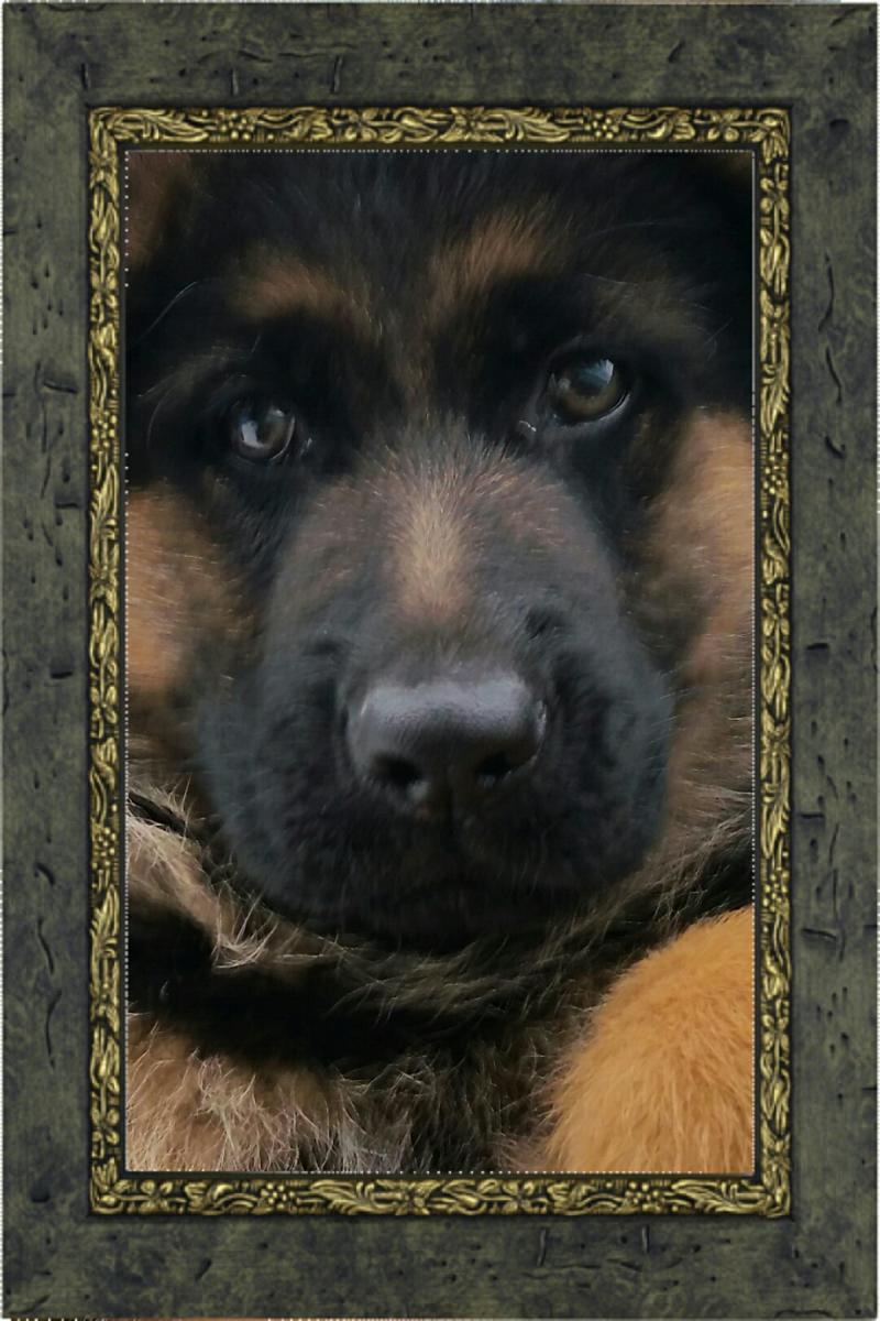 Elite German Shepherds Pups Young Adults Titled Dogs Guardians Protection
