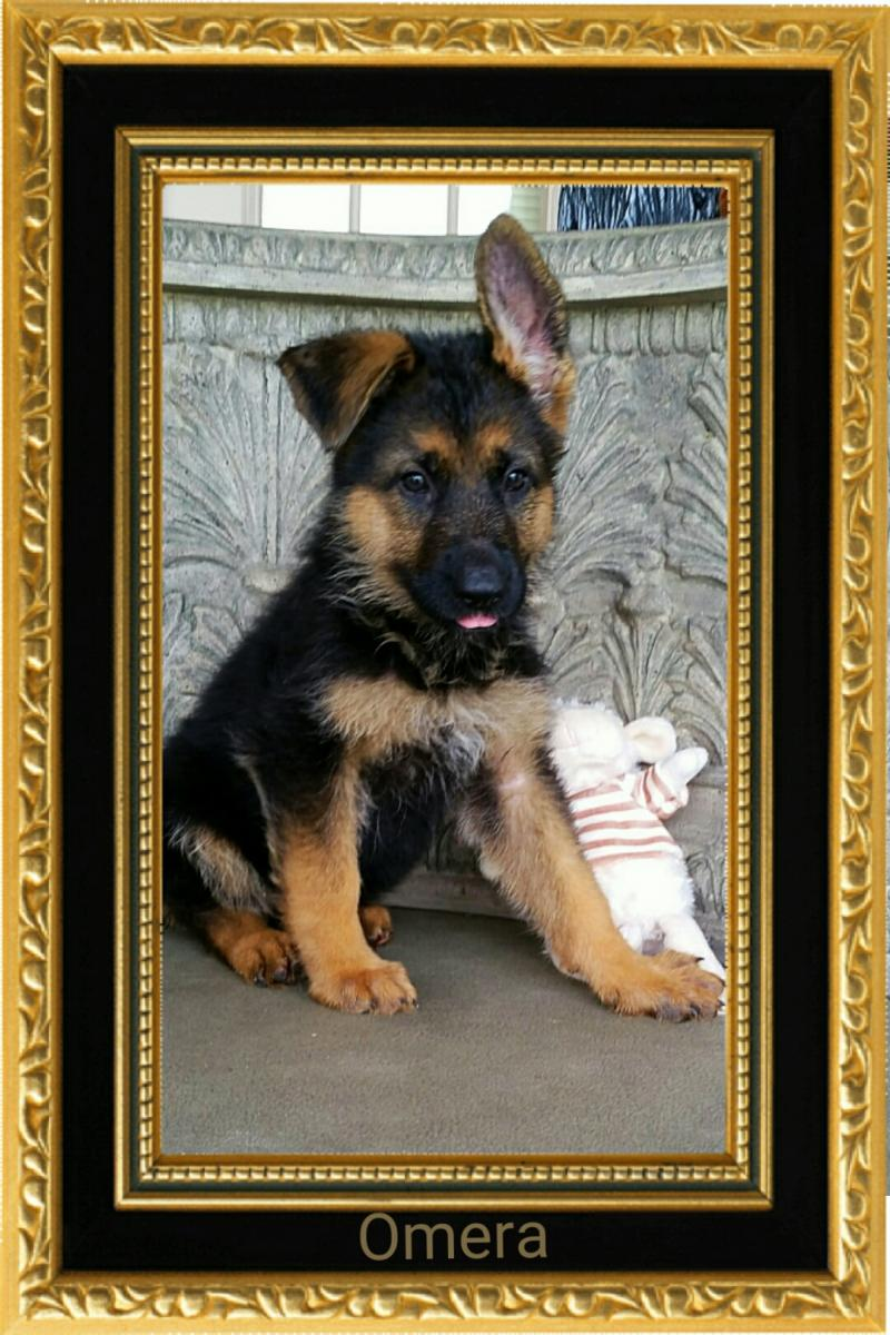 German Shepherd Kennels German Shepherd Puppy For Sale Texas San Antonio Dallasa