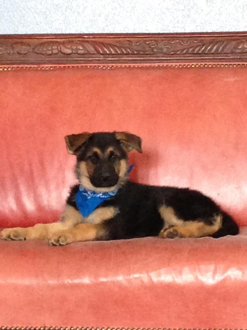 German Shepherd Puppies for sale in Texas Direct From Germany
