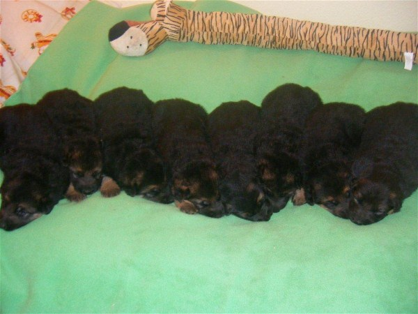 German Shepherd Pups Direct From Germany