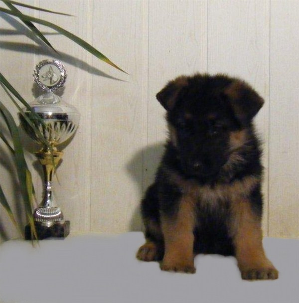 German Imported Female Pup #2