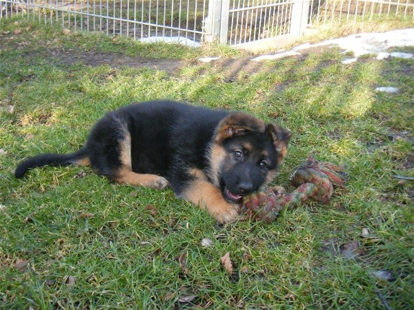 Imported German Shepherd Pup Direct from Germany