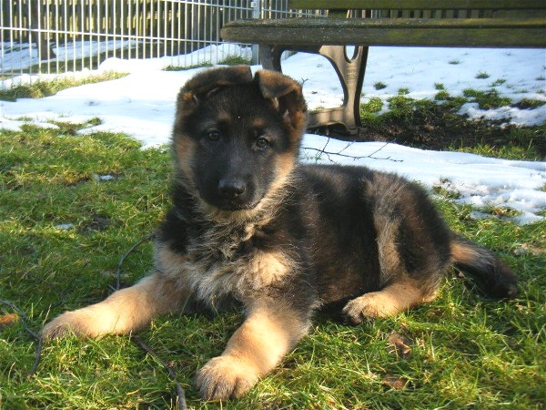 Imported German Shepherd Pup from Germany
