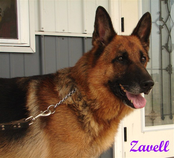 Zavell Male GSD For Sale