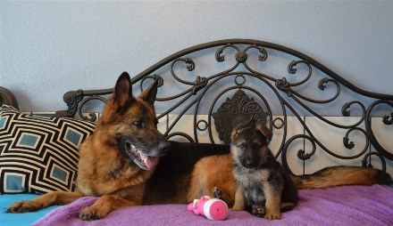 Elite German Shepherd Pups Available Imported