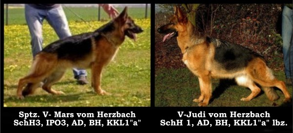 Imported German Shepherd Pups Direct from Germany