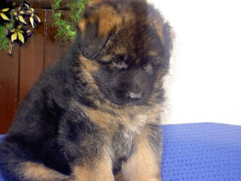 Female German Shepherd Puppies Direct From Germany Long Stock Coated