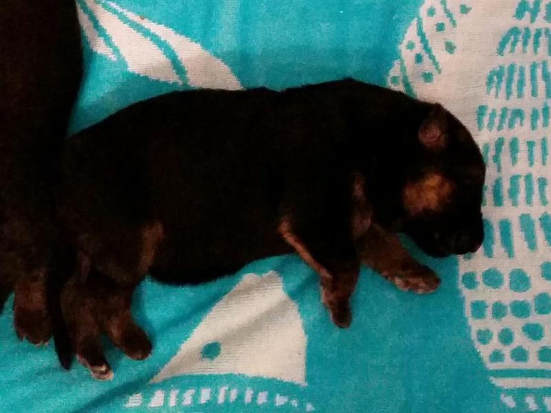 german shepherd pups for sale austin san marcos east texas dallas ft. worth s.a.
